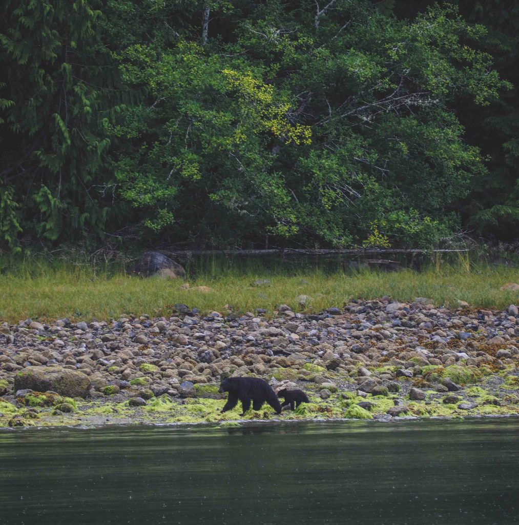 Mother and baby bear in Tofino