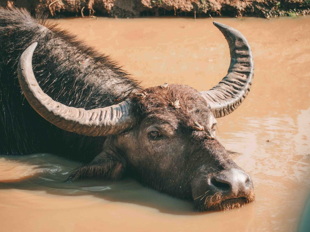 Water buffalo in a pool of water