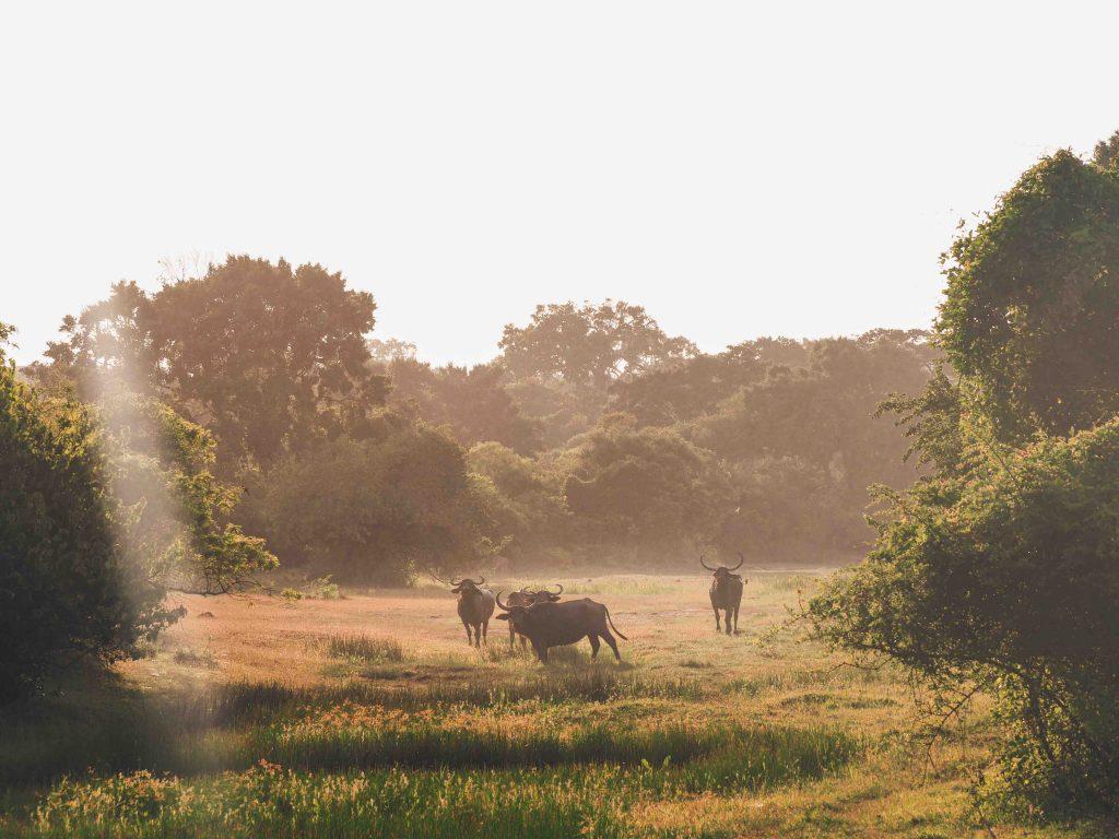 Water Buffalo at sunset