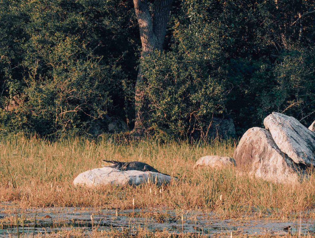 Crocodile on a rock