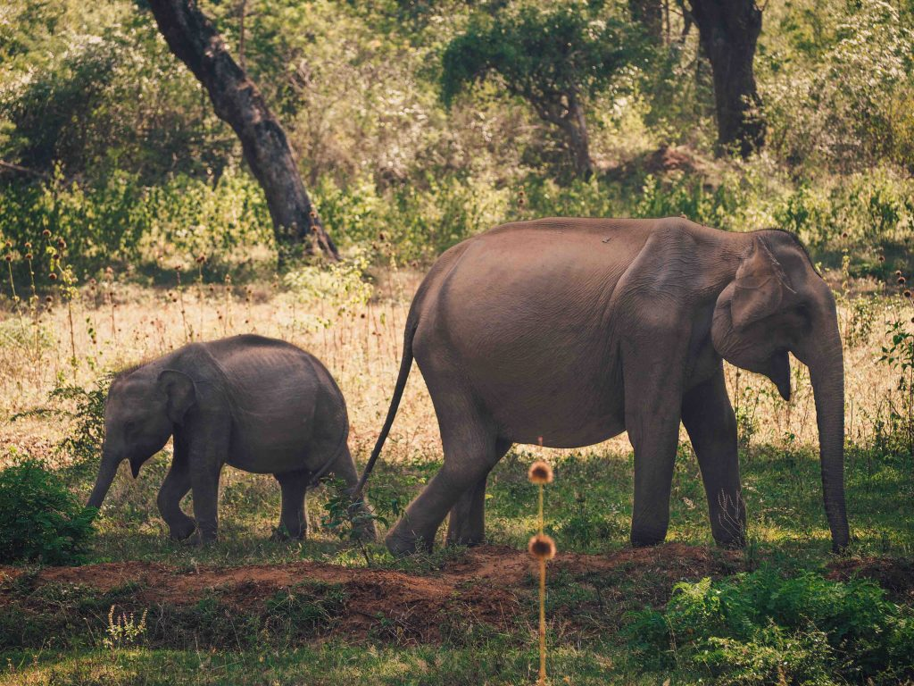 Mother and baby elephant feeding